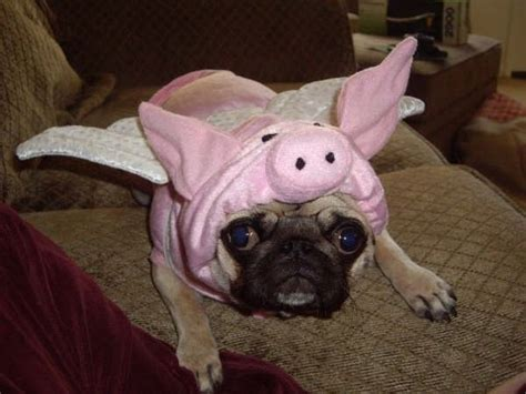 pig the pug costume ideas 439 best images about costumes on animals planet