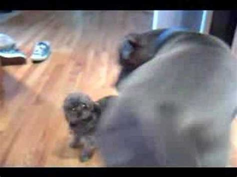 imperial vs shih tzu vs cat west highland terrier shih tzu funnydog tv