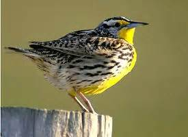 The official wyoming state bird the us50
