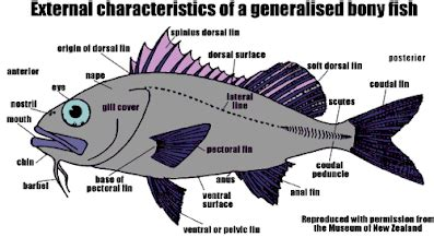 diagram of a bony fish bony fish pictures and diagrams osteichthyes bony fish