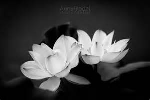 tableau fleur de lotus lotus flowers black and white photograph nature