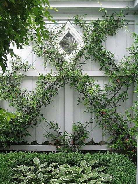 vining house plant that is trained to cover the ceiling green walls trellised vines espalier trees trees