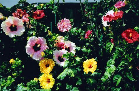 hibiscus garten valley hibiscus worldwide hibiscus garden in