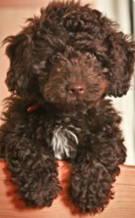 brown poodle puppy springer x minature poodle brown spoodle puppies mirfield west pets4homes