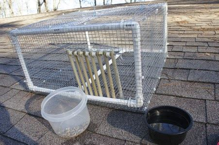 how to trap pigeons for build your own pigeon trap pigeons palace