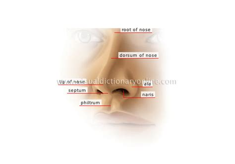 anatomy of human nose nose human anatomy organs template baldaivirtuves info human being sense organs smell and taste external nose image visual dictionary