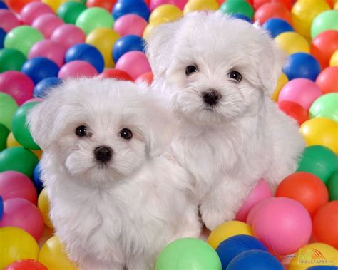 a baby puppy white baby wallpaper 15307