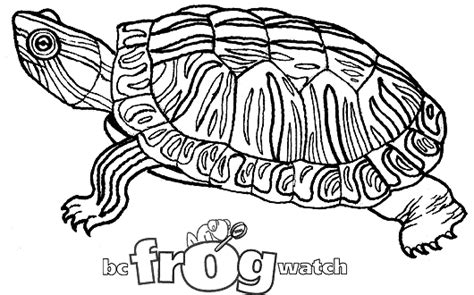 coloring page painted turtle b c frogwatch program environment province of british