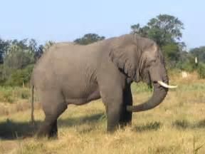 le elefant top 10 heaviest land animals on the earth