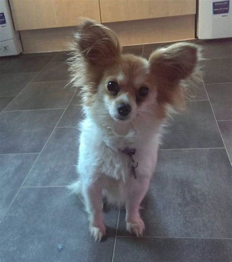 Small Dogs Home Walsall Chihuahua X Papillon Lovely Walsall West