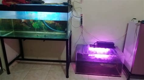 arwana rtg lampu putihmerah youtube