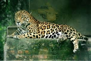 Scientific Name Jaguar
