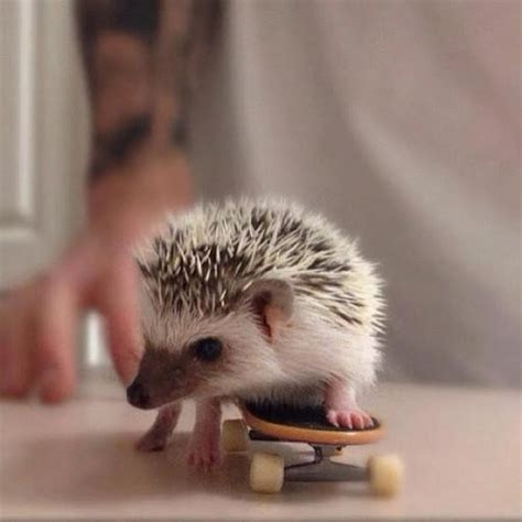 Adorable Pets by These 30 Hedgehogs Will Kill You With Cuteness