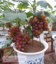 tabulampot anggur merah info tanaman buah