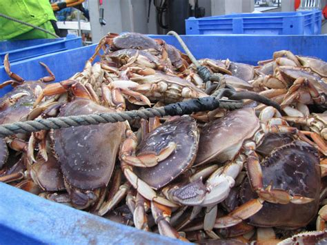 Whats In Season Dungeness Crabs by 2015 Washington State Crab Fishing Autos Post