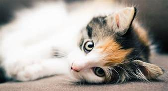 are all calico cats female the gender and color link in