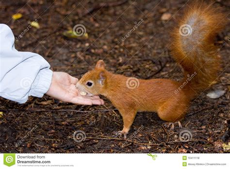 to feed a squirrel royalty free stock photos image 10411118