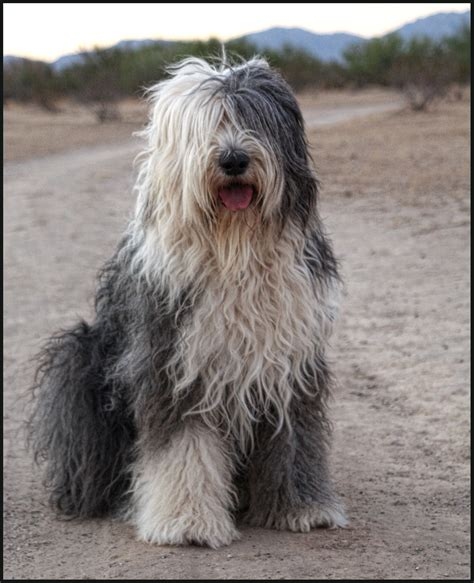 sheep dogs sitting sheepdog photo and wallpaper beautiful sitting