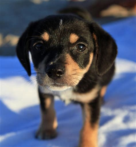 puppies in dallas olive the beagle mix puppies daily puppy breeds picture