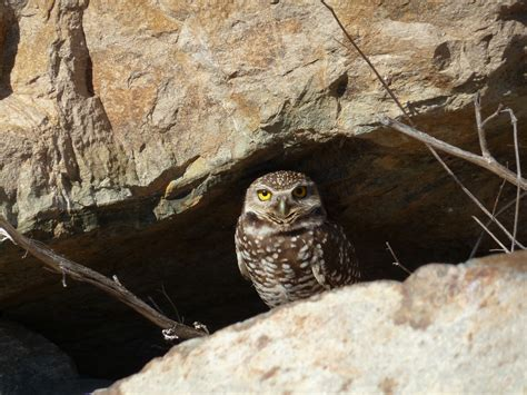 california burrowing owl jim caldwell