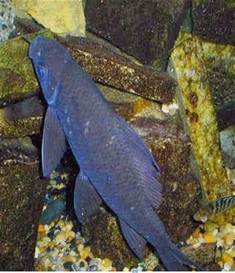 Jual Pakan Ikan Cacing Beku hiu hitam air tawar black shark ikan hiasku