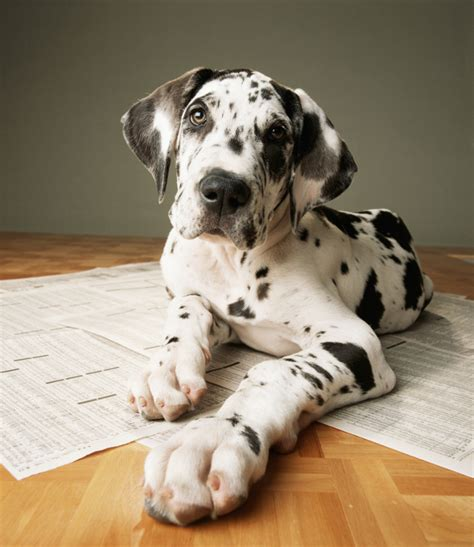 how much are great dane puppies great dane how to deal with this outstanding animalso