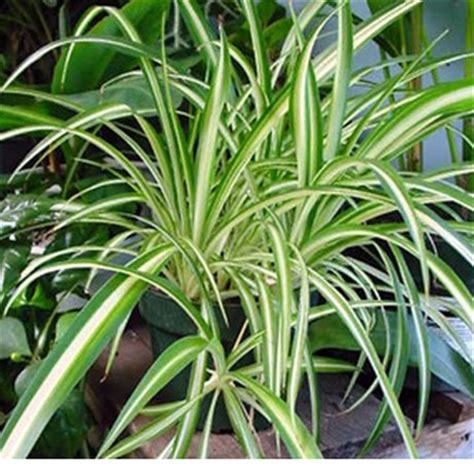 spider plant low light nilsen landscape design 187 improve indoor air quality with houseplants