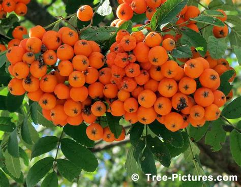 mountain ash tree pictures of sorbus aucuparia