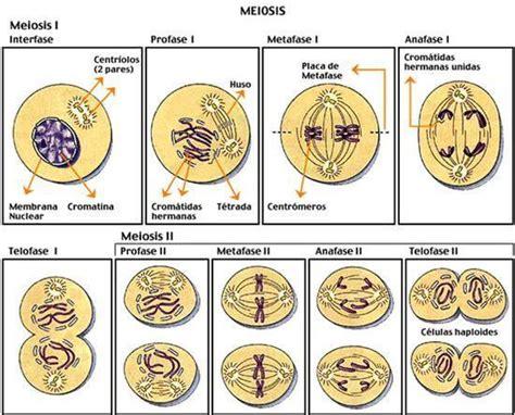 anna mitose e meiose ciencias del mundo contemporaneo