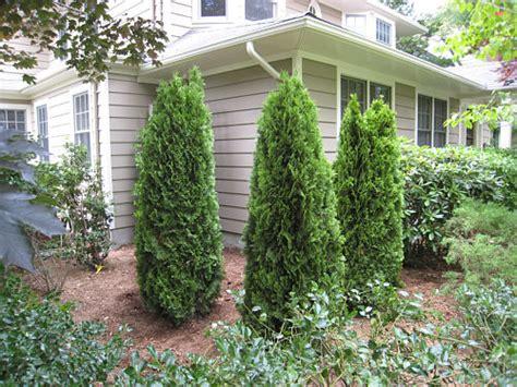Landscaping Ideas Emerald Green Arborvitae Emerald Green Arborvitae In Front Of House Search