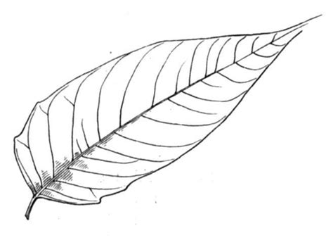 Palm Leaf Coloring Pages Palm Leaves Coloring Pages
