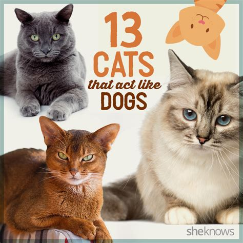 dogs that act like cats 13 cat breeds that behave like dogs