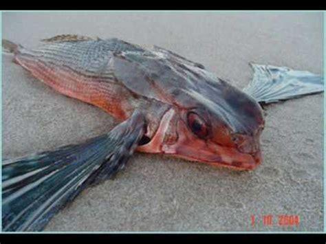 ver imagenes sorprendentes de animales animales sorprendentes i pez volador logra planear