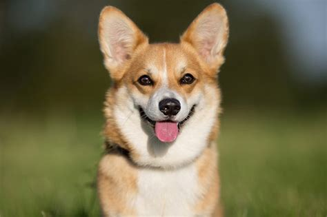 corgi puppy information information about corgi dogs cuteness