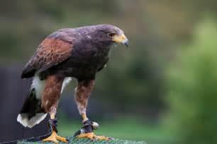 5 north american birds of prey