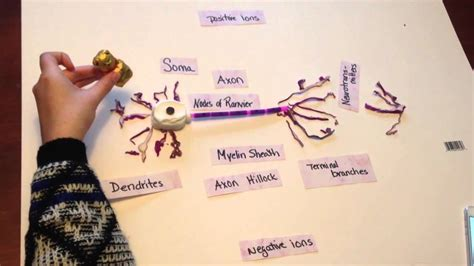 model of a motor neuron part 2 of neuron project