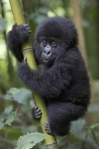 amazon list for black friday 画像 エグカワいい 人間臭すぎるゴリラの赤ちゃんの画像集 naver まとめ