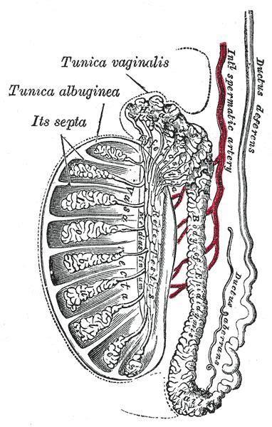 testicular diagram scrotal normal ultrasoundpaedia