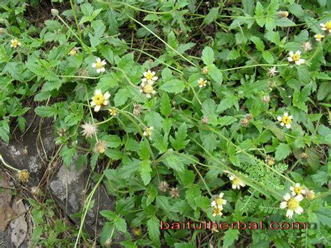 Tanaman Herbal tanaman obat herbal ajeran bermanfaat ramuan obat