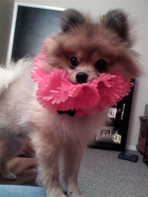 pomeranian breeders hawaii 17 best images about i want a pomeranian on cutest dogs pomeranian dogs