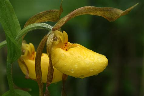 yellow slipper flower yellow lady s slipper naturally curious with