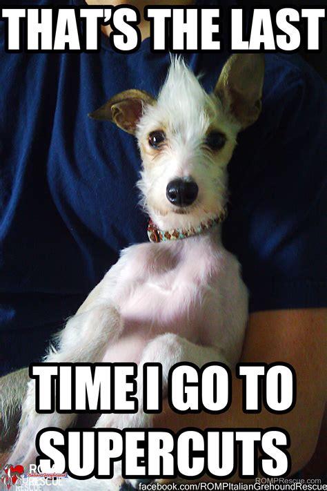 Funny Italian Memes - italian greyhound memes part 1 romp italian greyhound