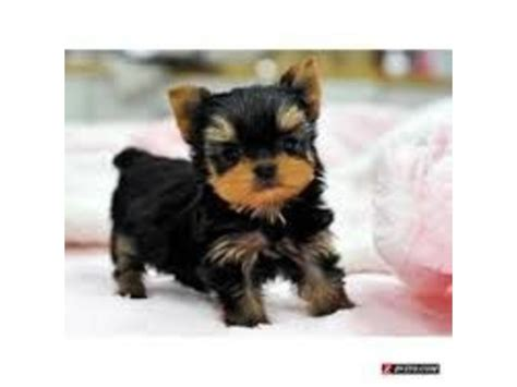 yorkie puppies houston akc micro mini teacup yorkie puppies text 443 267 8170 animals houston