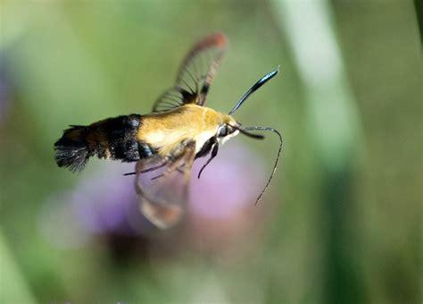 file hummingbird moth 100916 138 4996964151 jpg