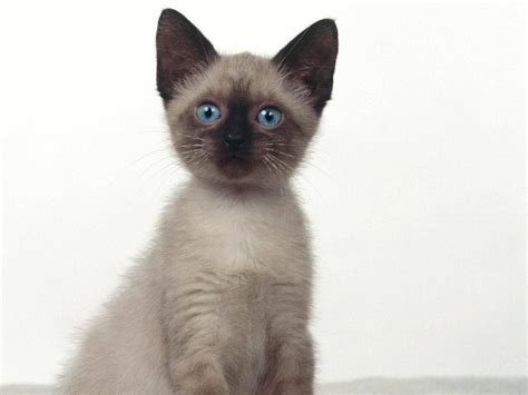 siamese information health pictures training pet paw