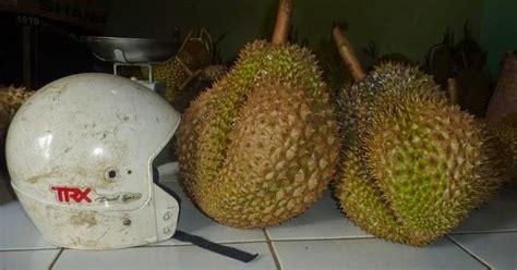 Bibit Buah Duren bibit buah langka durian bawor kaki 4