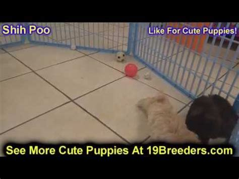 China Garden Flowery Branch Ga by Shih Tzu Puppies For Sale In Albany County