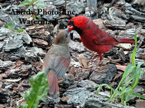 perching birds cardinal babies