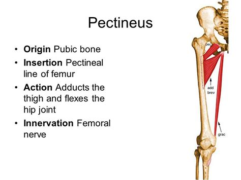 libro muscle origins and insertions pectineus origin and insertion google search muscle origins and insertions