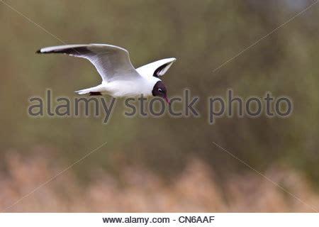 gabbiano testa nera testa nera gull larus ridibundus ritratto piumaggio